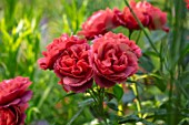 ASHCOMBE, SURREY: PLANT PORTRAIT OF DARK, RED, FLOWERS OF ROSE, ROSA HOT CHOCOLATE, DECIDUOUS, ROSES, BLOOMS, BLOOMING, FLOWERING, SCENT, SCENTED, FRAGRANT, SHRUBS, FLORIBUNDA