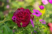 ASHCOMBE, SURREY: PLANT PORTRAIT OF DARK, RED, FLOWERS OF ROSE, ROSA MUNSTEAD WOOD, DECIDUOUS, ROSES, BLOOMS, BLOOMING, FLOWERING, SCENT, SCENTED, FRAGRANT, SHRUBS, FLORIBUNDA