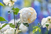 ASHCOMBE, SURREY: PLANT PORTRAIT OF WHITE, YELLOW, FLOWERS OF ROSE, ROSA LARK ASCENDING, DECIDUOUS, ROSES, BLOOMS, BLOOMING, FLOWERING, SCENT, SCENTED, FRAGRANT, SHRUBS