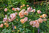 ASHCOMBE, SURREY: PLANT PORTRAIT OF ORANGE FLOWERS OF ROSE, ROSA LADY GARDENER, DECIDUOUS, ROSES, BLOOMS, BLOOMING, FLOWERING, SCENT, SCENTED, FRAGRANT, SHRUBS