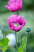 ASHCOMBE, SURREY: PLANT PORTRAIT OF PURPLE, PINK FLOWERS OF POPPY, ANNUALS, JUNE, SUMMER, FLOWERING, BLOOMING, BLOOMS