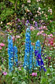 ASHCOMBE, SURREY: PLANT PORTRAIT OF BLUE FLOWERS OF DELPHINIUM PANDORA, PERENNIALS, JUNE, SUMMER, FLOWERING, BLOOMING, BLOOMS
