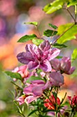 ASHCOMBE, SURREY: PLANT PORTRAIT OF PINK FLOWERS OF CLEMATIS DAWN, JUNE, SUMMER, FLOWERING, BLOOMING, BLOOMS, CLIMBER, PERENNIALS, DECIDUOUS