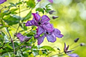 ASHCOMBE, SURREY: PLANT PORTRAIT OF PURPLE FLOWERS OF CLEMATIS VITICELLA EMILIA PLATER, JUNE, SUMMER, FLOWERING, BLOOMING, BLOOMS, CLIMBER, PERENNIALS, DECIDUOUS
