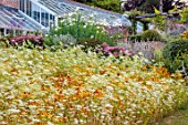 ALDERWOOD HOUSE, KENT: WILDFLOWER MEADOW, WALLS, WHITE FLOWERS, AMMI MAJUS, COREOPSIS TINCTORIA, SUMMER, JULY. WALLED GARDENS