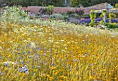 ALDERWOOD HOUSE, KENT: WILDFLOWER MEADOW, WALLS, WHITE FLOWERS, AMMI MAJUS, COREOPSIS TINCTORIA, BLUE CORNFLOWERS, SUMMER, JULY. WALLED GARDENS