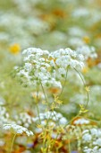 ALDERWOOD HOUSE, KENT: WILDFLOWER MEADOW, WHITE FLOWERS OF AMMI MAJUS, BULLWORT, ANNUALS, WILDFLOWERS, COW PARSLEY LIKE. UMBELLIFER