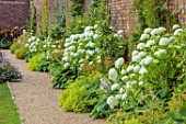 ALDERWOOD HOUSE, KENT: WALLED GARDEN, BORDERS, WHITE FLOWERS OF HYDRANGEA ARBORESCENS ANNABELLE, ALCHEMILLA MOLLIS, HOSTAS, HEMEROCALLIS CREAM DROP, SUMMER, JULY