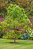 ALDERWOOD HOUSE, KENT: WALLED GARDEN, LAWN, TRESS, CATALPA BIGNONIOIDES, WALLS, HOSTAS, HYDRANGEA ANNABELLE