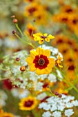 ALDERWOOD HOUSE, KENT: CLOSE UP OF YELLOW, RED, FLOWER OF COREOPSIS TINCTORIA, AMMI MAJUS, WHITE, SUMMER, HARDY ANNUALS, BIENNIALS