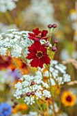 ALDERWOOD HOUSE, KENT: CLOSE UP OF YELLOW, RED, FLOWER OF COREOPSIS TINCTORIA, AMMI MAJUS, WHITE, SUMMER, HARDY ANNUALS, BIENNIALS, MEADOWS