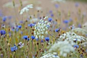 ALDERWOOD HOUSE, KENT: CLOSE UP OF BLUE FLOWERS OF CORNFLOWERS, AMMI MAJUS, WHITE, SUMMER, HARDY ANNUALS, BIENNIALS, MEADOWS