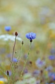 ALDERWOOD HOUSE, KENT: CLOSE UP OF BLUE FLOWERS OF CORNFLOWERS, WHITE, SUMMER, HARDY ANNUALS, BIENNIALS, MEADOWS