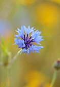 ALDERWOOD HOUSE, KENT: CLOSE UP OF BLUE FLOWERS OF CORNFLOWERS, SUMMER, HARDY ANNUALS, BIENNIALS, MEADOWS