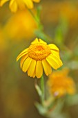 ALDERWOOD HOUSE, KENT: CLOSE UP OF YELLOW FLOWERS OF DAISY, SUMMER, HARDY ANNUALS, BIENNIALS, MEADOWS