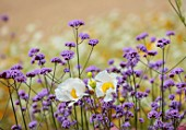 ALDERWOOD HOUSE, KENT: PLANT ASSOCIATION, COMBINATION OF VERBENA BONARIENSIS AND ROMNEYA COULTERI, CALIFORNIAN TREE POPPY, SUMMER, JULY, WHITE, PURPLE, FLOWERS, FLOWERING, BLOOMS