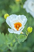 ALDERWOOD HOUSE, KENT: PLANT PORTRAIT OF ROMNEYA COULTERI, CALIFORNIAN TREE POPPY, SUMMER, JULY, WHITE, YELLOW, FLOWERS, FLOWERING, BLOOMS