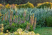 TYGER BARN, NORFOLK: BORDERS, JULY, EUPHORBIA, VERBASCUM CHAIXII ALBUM, ECHINOPS ARCTIC GLOW, ACANTHUS HUNGARICUS, HEDGES, HEDGING