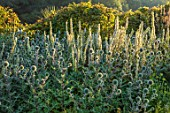 TYGER BARN, NORFOLK: BORDERS, JULY, PLANT ASSOCIATION, COMBINATION OF VERBASCUM CHAIXII ALBUM, ECHINOPS ARCTIC GLOW