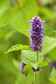 LARCH COTTAGE NURSERIES, CUMBRIA: CLOSE UP OF BLUE, PURPLE, FLOWERS OF AGASTACHE RUGOSA GOLDEN JUBILEE, PERENNIALS, SUMMER, JULY, DECIDUOUS, HERBACEOUS