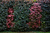 THE MANOR HOUSE, STEVINGTON, BEDFORDSHIRE. DESIGNER: KATHY BROWN - THE ROTHKO ROOM, RED FOLIAGE, LEAVES OF PRUNUS, BEECH, BERBERIS, SUMMER, RED GARDEN, HEDGES, HEDGING
