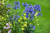 MORTON HALL GARDENS, WORCESTERSHIRE: SOUTH GARDEN, BORDERS, NICOTIANA LIME GREEN, BLUE FLOWERS OF AGAPANTHUS BLUE TRIUMPHATOR