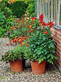 MORTON HALL GARDENS, WORCESTERSHIRE: HOT FLOWERS, CONTAINERS, TERRACOTTA POTS OF CANNA, ARCTOTIS FLAME, CALIBRACHOA BALCK CHERRY, GREENHOUSE