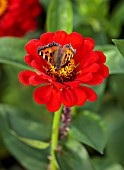 PRIVATE GARDEN, BERKSHIRE: DESIGNER ISTVAN DUDAS: CLOSE UP OF THE BRIGHT RED FLOWERS OF ZINNIA ELEGANS BENARYS GIANT SCARLET, ANNUALS, SUMMER, JULY, SMALL TORTOISESHELL