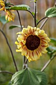 PRIVATE GARDEN, BERKSHIRE: DESIGNER ISTVAN DUDAS: CLOSE UP OF THE YELLOW, ORANGE, BROWN FLOWERS OF SUNFLOWERS, HELIANTHUS MAGIC ROUNDABOUT, SUMMER, JULY, ANNUALS