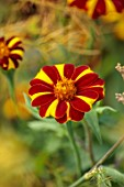 PRIVATE GARDEN, BERKSHIRE: DESIGNER ISTVAN DUDAS: CLOSE UP OF YELLOW AND RED FLOWERS OF TAGETES JOLLY JESTER, FLOWERING, BLOOM, BLOOMING, ANNUALS, SUMMER