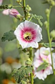 PRIVATE GARDEN, BERKSHIRE: DESIGNER ISTVAN DUDAS: WHITE AND PINK FLOWERS OF ALCEA ROSEA HALO BLUSH, FLOWERING, BLOOM, BLOOMING, ANNUALS, SUMMER, HOLLYHOCKS, BEES, INSECTS