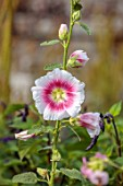 PRIVATE GARDEN, BERKSHIRE: DESIGNER ISTVAN DUDAS: CLOSE UP OF WHITE AND PINK FLOWERS OF ALCEA ROSEA HALO BLUSH, FLOWERING, BLOOM, BLOOMING, ANNUALS, SUMMER, HOLLYHOCKS