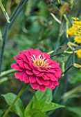PRIVATE GARDEN, BERKSHIRE: DESIGNER ISTVAN DUDAS: CLOSE UP OF ZINNIA ELEGANS PURPLE PRINCE, ANNUALS, FLOWERS, BLOOMS, BLOOMING