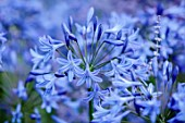 MORTON HALL GARDENS, WORCESTERSHIRE: BLUE, PURPLE, FLOWERS OF AGAPANTHUS POLAR STAR, AFRICAN LILY, SUMMER, PERENNIALS, BULBS