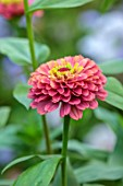 GREEN AND GORGEOUS FLOWERS, OXFORDSHIRE: CLOSE UP OF PINK FLOWERS OF ZINNIA ELEGANS QUEEN RED LIME, ANNUALS, MEXICO