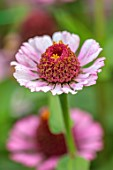 GREEN AND GORGEOUS FLOWERS, OXFORDSHIRE: CLOSE UP OF PINK FLOWERS OF ZINNIA ZINDERELLA LILAC, ANNUALS, MEXICO
