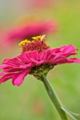 GREEN AND GORGEOUS FLOWERS, OXFORDSHIRE: CLOSE UP OF PINK, YELLOW, FLOWERS OF ZINNIA GOLDEN HOUR, FLOWERING, BLOOMS, BLOOMING, ANNUALS