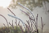 SILVER STREET FARM, DEVON. DESIGNER ALASDAIR CAMERON - CLOSE UP PORTRAIT OF WHITE FLOWERS OF CIMICIFUGA SIMPLEX, BUGBANE, ACTAEA SIMPLEX ATROPURPUREA GROUP, PERENNIALS, SPIKES