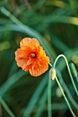 SILVER STREET FARM, DEVON. DESIGNER ALASDAIR CAMERON - ORANGE FLOWERS OF WELSH POPPY, MECONOPSIS CAMBRICA, ANNUALS, FLOWERING, BLOOMING, BLOOMS, FLOWERS