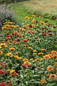 THE FLOWER GARDEN AT STOKESAY COURT - ORANGE, BRONZE, COPPER, YELLOW FLOWERS OF RUDBECKIA HIRTA SAHARA, SEPTEMBER, AUTUMN, BLOOMS, BLOOMING, FLOWERING, ANNUALS, PERENNIALS