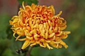 THE FLOWER GARDEN AT STOKESAY COURT - ORANGE FLOWERS OF CHRYSANTHEMUM ASTRO, SEPTEMBER, AUTUMN, BLOOMS, BLOOMING, FLOWERING