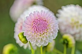 JUST DAHLIAS, CHESHIRE: CLOSE UP OF WHITE, PINK FLOWERS OF DAHLIA ABBIE, PERENNIALS, SEPTEMBER, BLOOMS, BLOOMING, FLOWERING