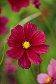 WILDEGOOSE NURSERY, SHROPSHIRE: PLANT PORTRAIT OF PINK, RED, FLOWERS OF COSMOS RUBENZA, ANNUALS, BLOOMING, BLOOMS, FLOWERING
