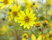 WILDEGOOSE NURSERY, SHROPSHIRE: CLOSE UP OF YELLOW FLOWERS OF HELIANTHUS LEMON QUEEN, PERENNIALS, FLOWERING, BLOOMING, FALL, AUTUMN