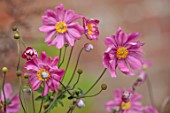 WILDEGOOSE NURSERY, SHROPSHIRE: PINK FLOWERS OF ANEMONE PAMINA, PERENNIALS, FALL, AUTUMN