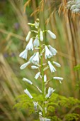 WILDEGOOSE NURSERY, SHROPSHIRE: PLANT PORTRAIT OF WHITE FLOWERS OF GALTONIA CANDICANS, BULBS, AGM, FLOWERING, BLOOMING, FALL