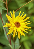 WILDEGOOSE NURSERY, SHROPSHIRE: CLOSE UP OF YELLOW FLOWERS OF UNKNOWN  HELIANTHUS CULTIVAR, FLOWERING, BLOOMING, FALL, AUTUMN