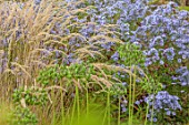 WILDEGOOSE NURSERY, SHROPSHIRE: GREEN SEED HEADS OF AGAPANTHUS NAVY BLUE, CALAMAGROSTIS VARIA, SYMPHYOTRICHUM TREFFPUNKT, COMBINATION, ASSOCIATION