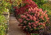 THE DOWER HOUSE, DERBYSHIRE: PATH BESIDE STONE WALL, WALLS, PINK FLOWERS OF HYDRANGEA PANICULATA PINK DIAMOND, ACER PALMATUM, SEPTEMBER, AUTUMN