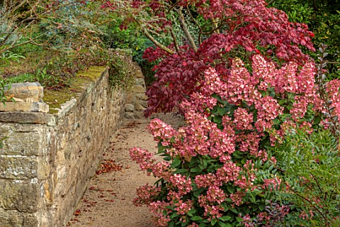 THE_DOWER_HOUSE_DERBYSHIRE_PATH_BESIDE_STONE_WALL_WALLS_PINK_FLOWERS_OF_HYDRANGEA_PANICULATA_PINK_DI